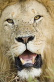 Lion (Panthera leo) adult male, close-up of head, with flies on face, Masai Mara Photographic Print by David Tipling