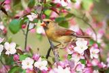 Northern Cardinal (Cardinalis cardinalis) adult female perched on branch amongst wild plum blossom Reproduction photographique par S & D & K Maslowski