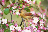 Northern Cardinal (Cardinalis cardinalis) adult female perched on branch amongst wild plum blossom Photographic Print by S & D & K Maslowski