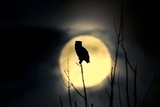 Great Horned Owl (Bubo virginianus) adult, backlit against moon at night, USA Photographic Print by S & D & K Maslowski