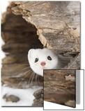Paul Sawer - Stoat (Mustela erminea) adult, in 'ermine' white winter coat, Minnesota Obrazy