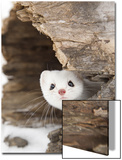 Stoat (Mustela erminea) adult, in 'ermine' white winter coat, Minnesota Prints by Paul Sawer