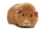Domestic Guinea Pig (Cavia porcellus) adult, standing Photographic Print by Chris Brignell