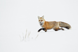 American Red Fox (Vulpes vulpes fulva) adult, walking on snow, Yellowstone , Wyoming Photographic Print by Ignacio Yufera
