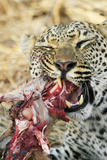 Leopard feeding on impala Photographic Print by Mark Hosking