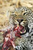 Leopard feeding on impala Photographic Print by Mark Hosking
