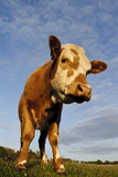 Domestic Cattle, beef youngstock, standing in pasture, The Lotts Photographic Print by Dave Pressland