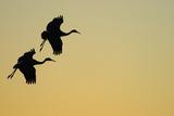 Sandhill Crane (Grus canadensis) Two in flight, silhouette at sunset, Bosque, New Mexico Reprodukcja zdjęcia autor Malcolm Schuyl