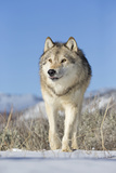 Grey Wolf (Canis lupus) adult, walking on snow, Montana, USA Photographic Print by Paul Sawer