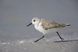 Sanderling (Calidris alba) running along beach, De Soto Park beach, near Tampa, Florida Photographic Print by Fritz Polking