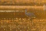 Sandhill Crane (Grus canadensis) In water, backlit in evening light, Bosque, New Mexico Reprodukcja zdjęcia autor Malcolm Schuyl
