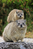Cape Rock Hyrax (Procavia capensis) adult female with young, resting on back, Western Cape Photographic Print by Jurgen & Christine Sohns