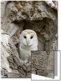 Barn Owl (Tyto alba) adult, perched in tree hollow, Suffolk, England Poster by Paul Sawer