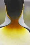 King Penguin (Aptenodytes patagonicus) adult, close-up of neck, Salisbury Plain, South Georgia Photographic Print by Bill Coster