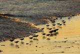 Sanderling (Calidris alba) flock, foraging at tideline, silhouetted at sunset, New York Photographic Print by Mike Lane