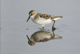 Semipalmated Sandpiper (Calidris pusilla) adult, breeding plumage, Gulf Coast Photographic Print by Bill Coster