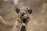 Dromedary Camel (Camelus dromedarius) adult, close-up of head, wearing bridle, Morocco Photographic Print by Robin Chittenden