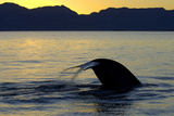 Blue Whale (Balaenoptera musculus) adult, tail fluke raised, silhouetted at sunset Photographic Print by Malcolm Schuyl
