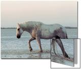 Jurgen & Christine Sohns - Camargue Horse, adult, walking in water at sunset, Saintes Marie de la Mer Obrazy