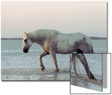 Camargue Horse, adult, walking in water at sunset, Saintes Marie de la Mer Prints by Jurgen & Christine Sohns