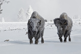 North American Bison (Bison bison) two adult males, walking on snow covered road, Wyoming Photographic Print by Ignacio Yufera