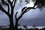 Leopard (Panthera pardus) Silhoutte of male in tree - Masai Mara, Kenya Fotografisk tryk af Fritz Polking