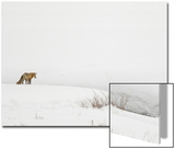 American Red Fox (Vulpes vulpes fulva) adult, standing on snow covered habitat, Wyoming Kunst av Paul Hobson