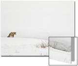 American Red Fox (Vulpes vulpes fulva) adult, standing on snow covered habitat, Wyoming Kunst van Paul Hobson