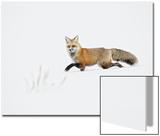 American Red Fox (Vulpes vulpes fulva) adult, walking on snow, Yellowstone , Wyoming Poster von Ignacio Yufera