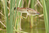 Least Bittern (Ixobrychus exilis) adult female, jumping between reedmace, Mustang Island Photographic Print by Bill Coster
