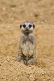 Meerkat (Suricata suricatta) baby, sitting on sand, with sandy paws from digging (captive) Photographic Print by Paul Sawer