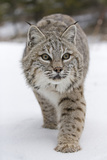 Bobcat (Lynx rufus) adult, walking on snow, Montana, USA Photographic Print by Paul Sawer