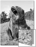 Grizzly Bear (Ursus arctos horribilis) adult, sitting with open mouth, Montana, USA Poster by Paul Sawer