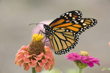 Monarch Butterfly (Danaus plexippus) adult, feeding on zinnia flower in garden, North Dakota, USA Photographic Print by Daphne Kinzler