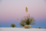 Yucca and 'Belt of Venus' atmospheric phenomenon at twilight, White Sands National Monument Photographic Print by Fritz Polking
