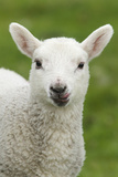 Domestic Sheep, lamb, close-up of head, with tongue out Photographic Print by Bill Coster