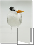 Royal Tern (Sterna maxima) adult, winter plumage, standing in windblown sand on beach, Florida Kunst von Mark Sisson