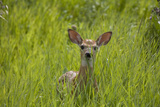 White-tailed Deer (Odocoileus virginianus) fawn, standing in long grass, North Dakota, USA july Photographic Print by Daphne Kinzler