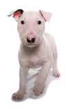Domestic Dog, Bull Terrier, puppy, eight-weeks old Photographic Print by Chris Brignell
