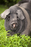Domestic Pig, British Saddleback, freerange sow, close-up of head Photographic Print by Wayne Hutchinson