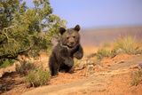 Grizzly Bear (Ursus arctos horribilis) cub, running in high desert, Monument Valley, Utah Photographic Print by Jurgen & Christine Sohns