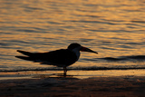 Black Skimmer (Rynchops nigra) adult silhouette, on beach at sunset, Florida, USA Photographic Print by Malcolm Schuyl