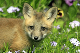American Red Fox (Vulpes vulpes fulva) ten-weeks old cub, close-up of head, Montana Photographic Print by Jurgen & Christine Sohns