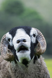 Domestic Sheep, Swaledale ram, close-up of head, with mouth open and trimmed horns Photographic Print by Wayne Hutchinson