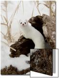 Stoat (Mustela erminea) adult, in 'ermine' white winter coat, climbing over log in snow, Minnesota Posters av Paul Sawer