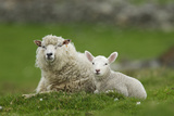 Domestic Sheep, ewe with lamb, resting in pasture, Shetland Islands Photographic Print by Bill Coster