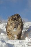 Snow Leopard (Panthera uncia) adult, walking in snow, winter (captive) Fotografisk tryk af Paul Sawer