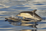 Short-beaked Common Dolphin (Delphinus delphis) two adults, porpoising, Azores, June Photographic Print by Malcolm Schuyl