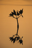 Mangrove (Rhizophora sp.) seedling at sunset, Sanibel Island, Florida, USA Photographic Print by Fritz Polking