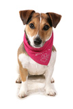 Domestic Dog, Jack Russell Terrier, adult, wearing bandana Photographic Print by Chris Brignell